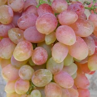 фото виногроада Хусайне чильги.