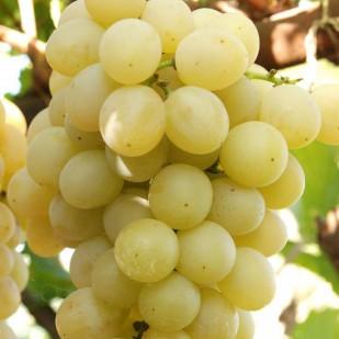фото винограда сорта Италия