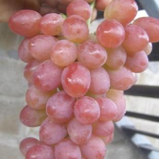 Фото винограда  Гурман лакомка.