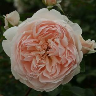 фото розы сорта Wildeve. Вильдив