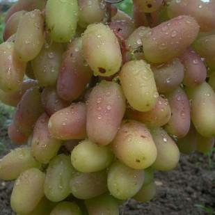 фото винограда Виктор.