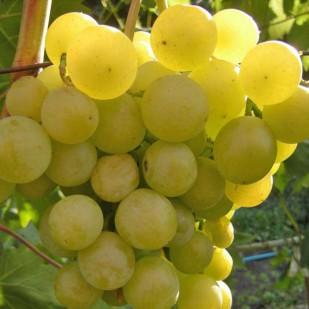 фото винограда Галбена Ноу