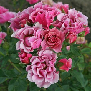фото розы группы флорибунда Санта Моника Santa Monika