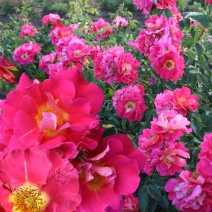 Фото розы сорта Bajazzo. Бажаззо