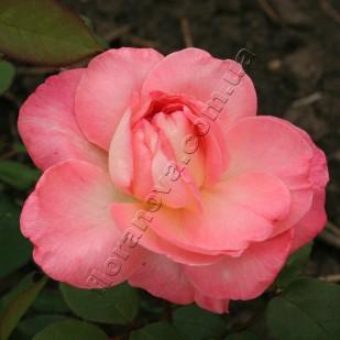 фото розы сорта Liv Tyler. Лив Тайлер
