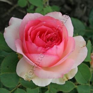 фото розы First Lady. Фёст Леди