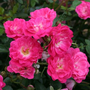 фото розы Lovely Fairy. Лавли Фейри