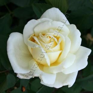 фото розы сорта Jeanne Moreau. Жанна Моро