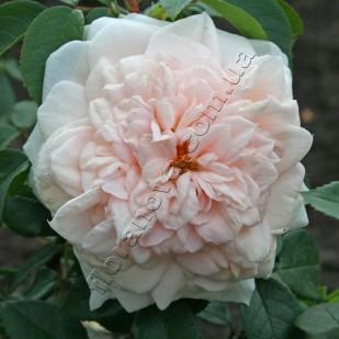 сорт розы Crocus Rose. Крокус Роуз