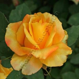 фото сорт розы Kerio. Керио