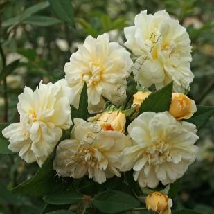 Саженцы роз Malvern Hills. Малверн Хилс