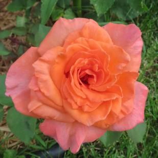 фото роз Ambassador