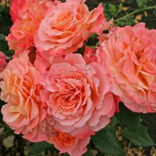 фото роз Augusta Luise