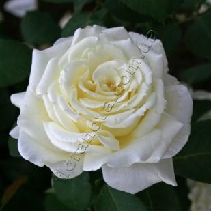 фото сорт розы Memoire. Мемори