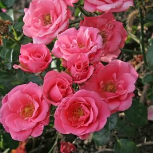 Bella Rosa. Белла Роза