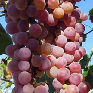 фото винограда Днестровский розовый