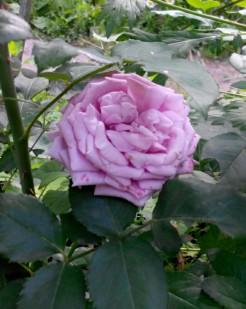 фото розы Индиголетта