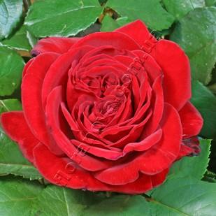 Фото розы сорта Notturno. Ноттурно