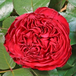 фото розы Traviata. Травиата