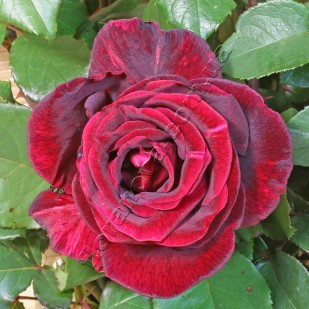 Саженцы роз сортPapa Meilland. Папа Мейланд