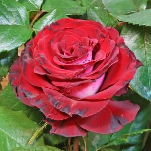 фото розы сорта Kings Pride. Gospel. Госпел