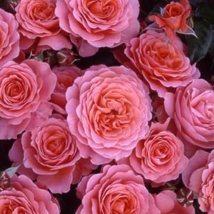 фото розы Pink Abundance. Пинк Эбандэнс