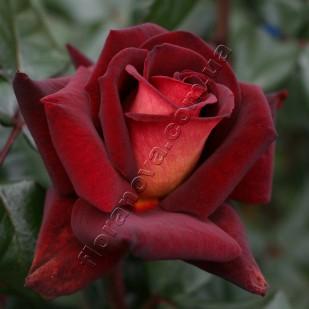фото розы Eddy Mitchell. Эдди Митчелл