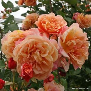 сорт розы Aloha Алоха фото