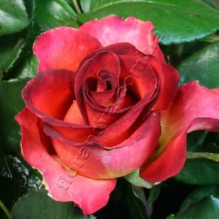 фото розы сорта Legend. Легенда