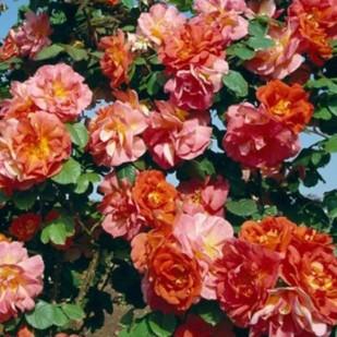 фото розы Arielle Dombasle. Ариэль Домбасль