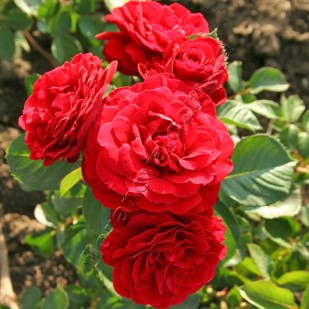 фото розы Nahelglut. Найхеглют