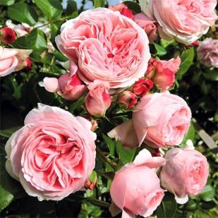 Фото розы Giardina. Джардина