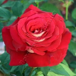 Саженцы роз Luxor. Люксор