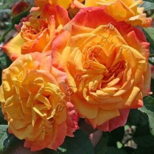 фото розы Gartenspass. Гартеншпас
