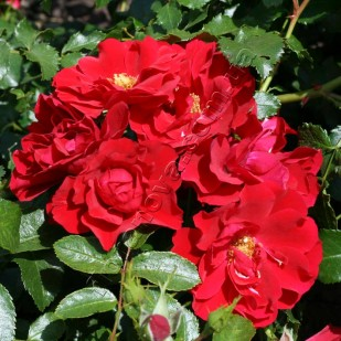 фото розы   Red Fairy. Ред Фейри