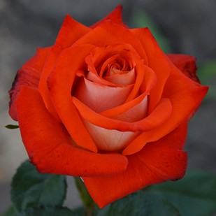 Фото сорта розы Verano. Верано