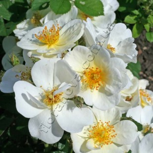 роза сорта Omi Oswald. Оми Освальд