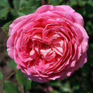 фото розы Jubilee Celebration. Джубили Селебрейшн