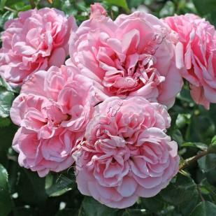 фото розы Les Quatre Saison.  Лес Кватре Сизонс