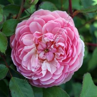 фото розы Anne Boleyn. Анна Болейн
