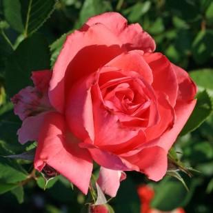 фото розы сорта Anton Tchekhov. Антон Чехов