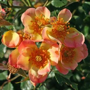 фото розы сорта Bienenweide Apricot.