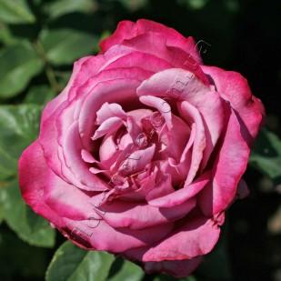 фото розы сорта Claude Brasseur.  Клод Брассер