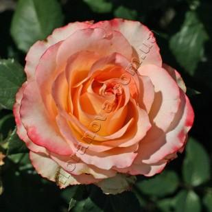 фото роз сорта Duett. Дуэт