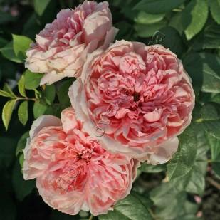 фото розы сорта Schone Maid. Шоне Майд