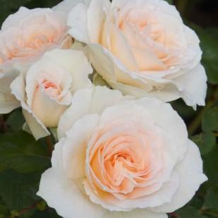 фото розы сорта Sweet Blondie. Свит Блонди
