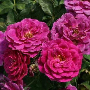 фото розы Ebb Tide. Эбб Тайд