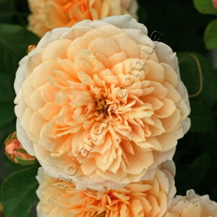 фото розы English Garden. Инглиш Гардн