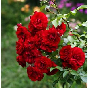 фото роз сорта Amadeus. Амадеус