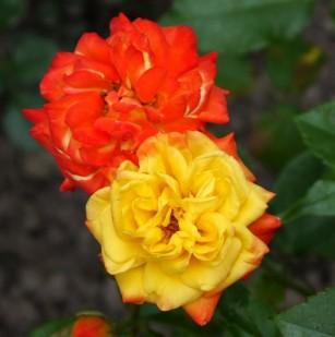 фото розы сорта Rumba. Румба
